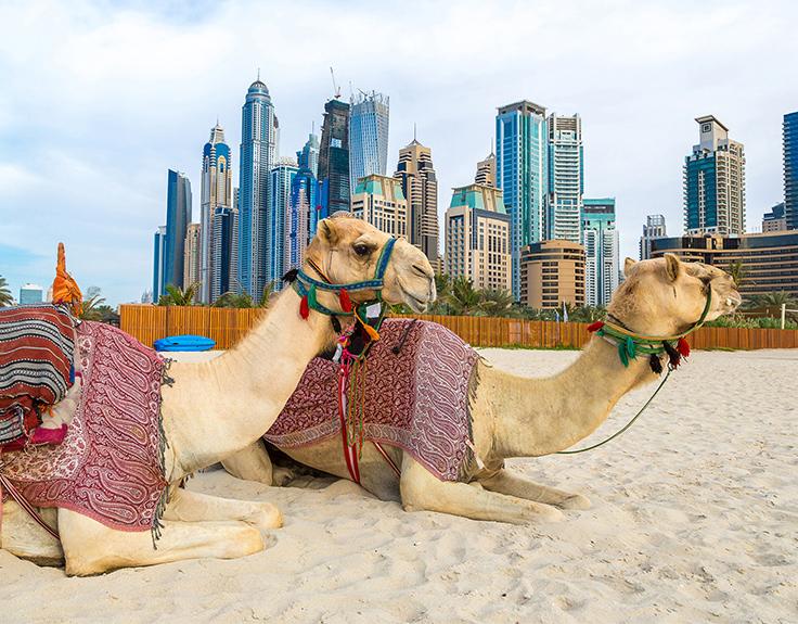 Kamele am Strand von Dubai