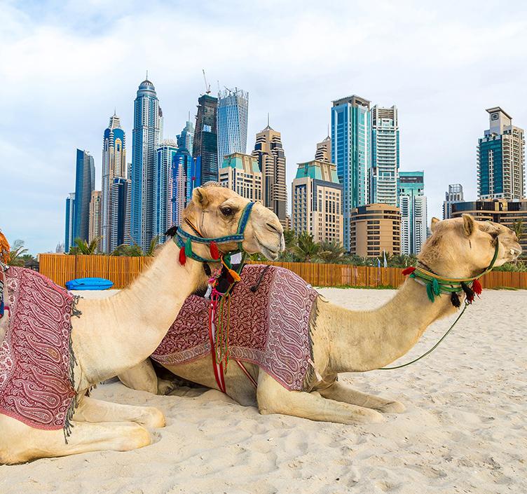 Camels on Dubai beach