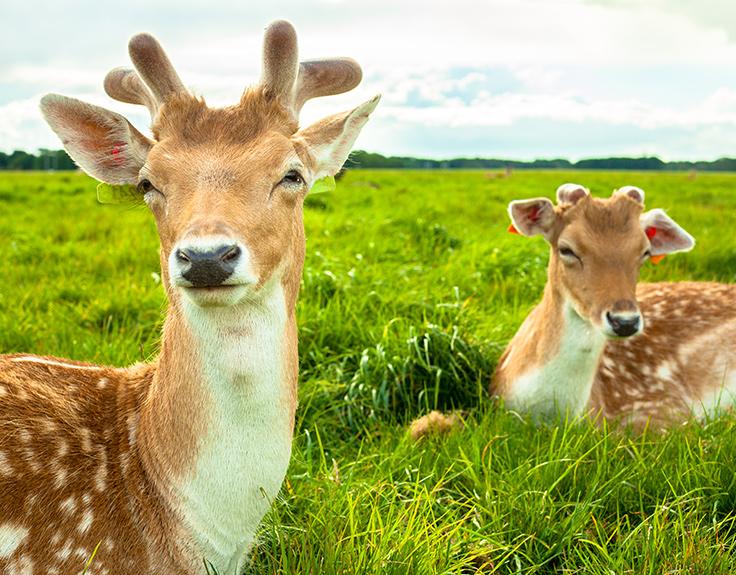 Deer in Pheonix Park, Dublin