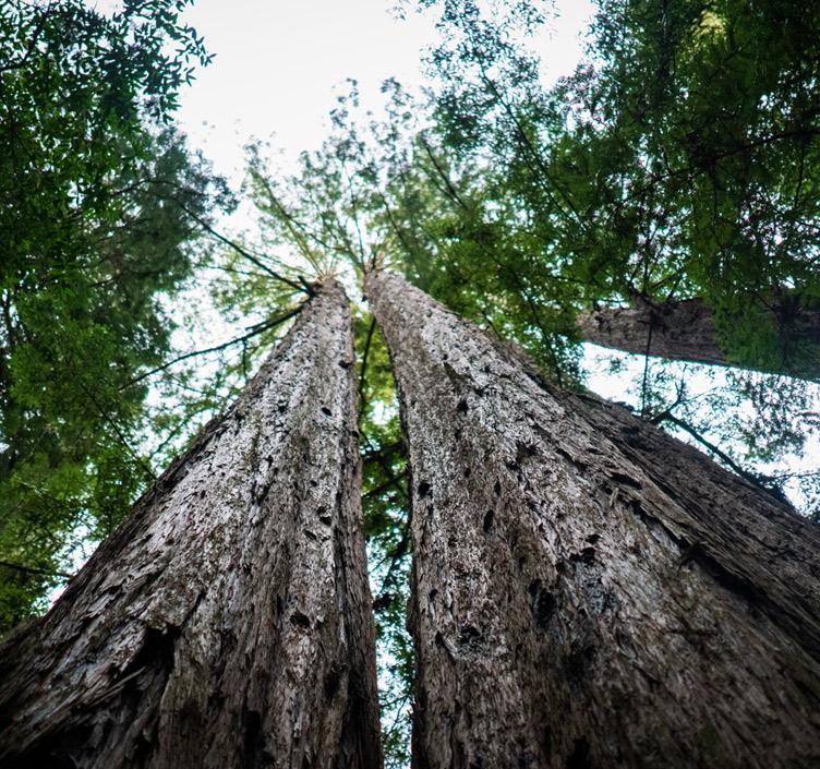 Redwood trees in Muir Woods, San Francisco