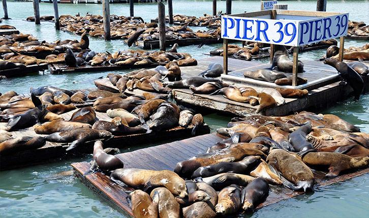 Seals basking on Pier 39 in San Francisco