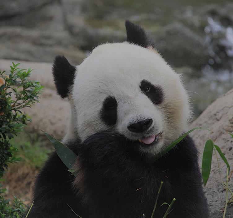 大熊猫正在吃竹叶