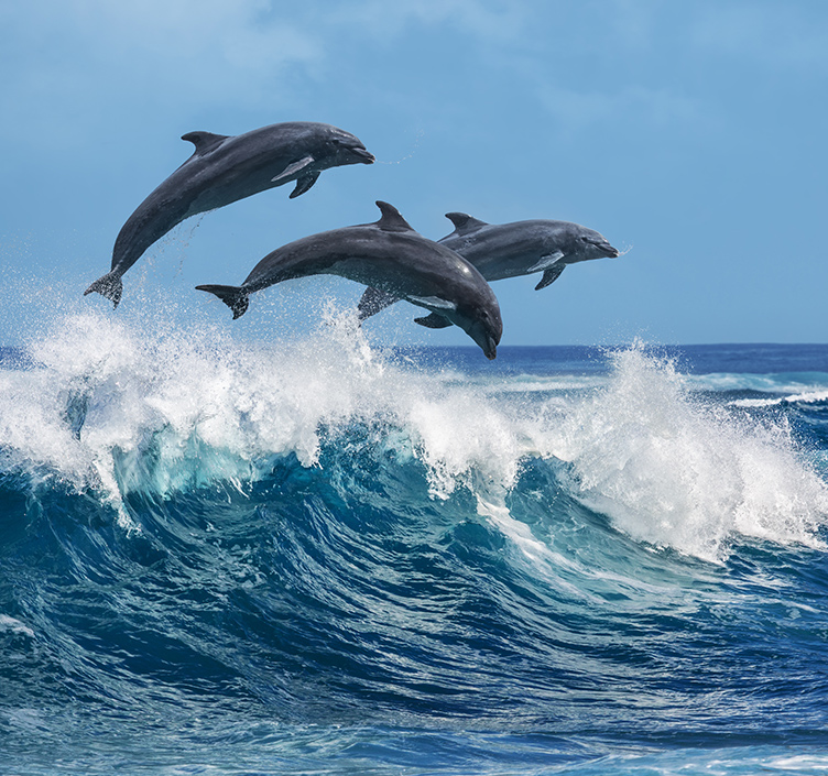 Dolphins in Muscat
