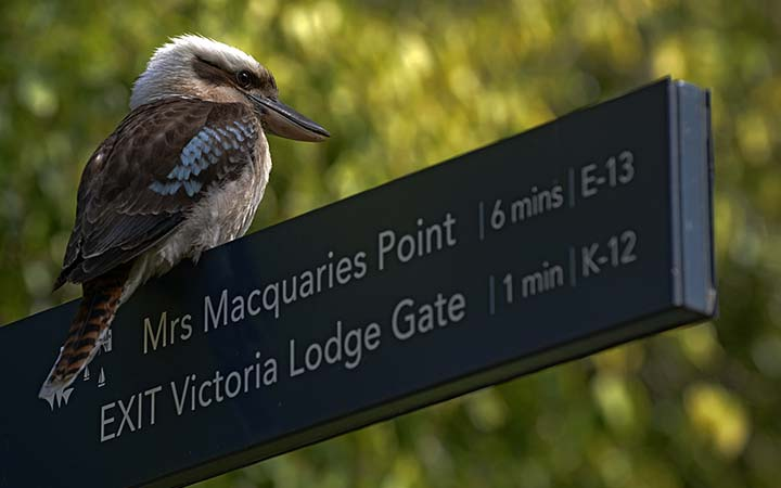 Kookaburra on sign in the Sydney Botanic Gardens
